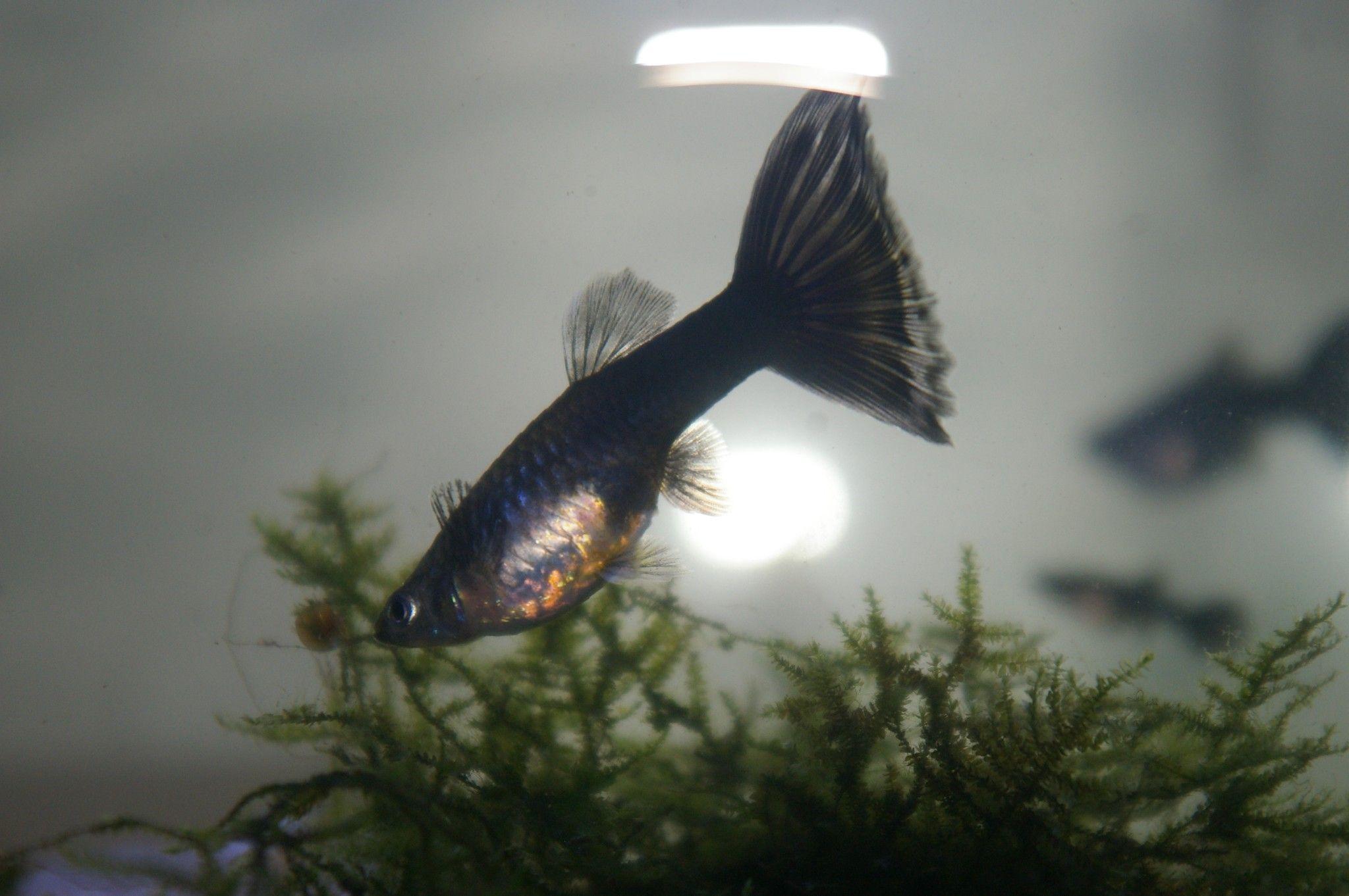 guppy Half Black Blue F2 fe My aquarium Pinterest