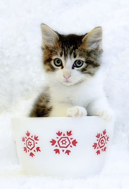 hswc christmas cat cat dog and kitchen pinterest christmas kitten cat and animal