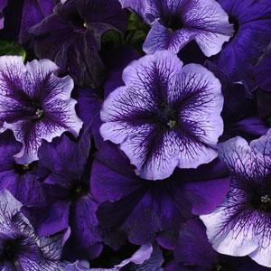 Fuseables Pleasantly Blue Petunia Annual Flower Seeds Petunias