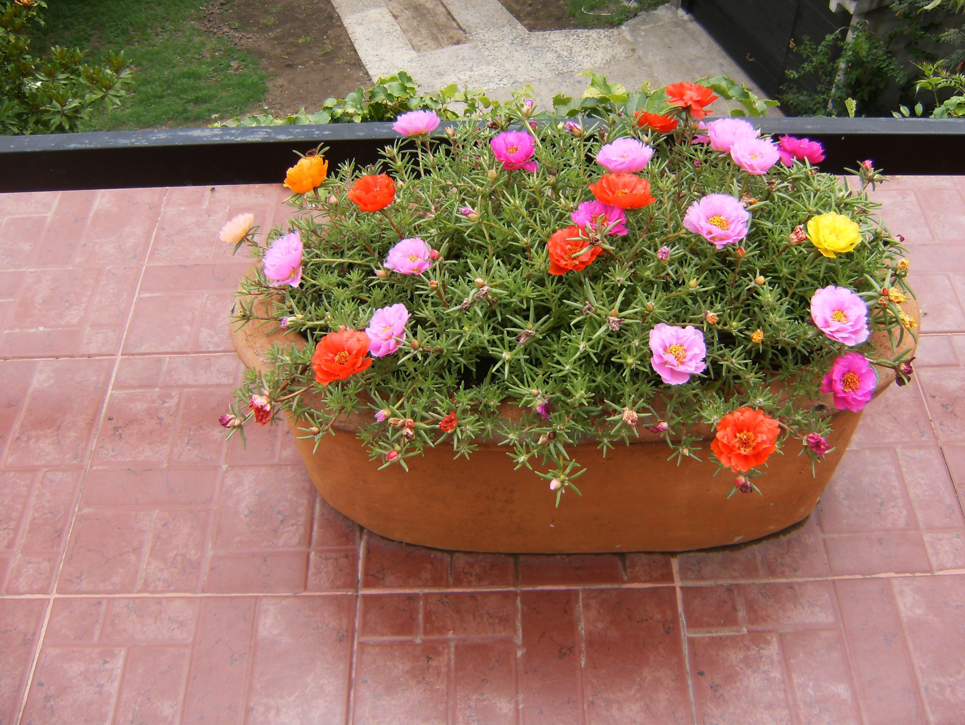 Portulacas plantas de sol pleno jardiner a pinterest - Plantas para jardineras al sol ...