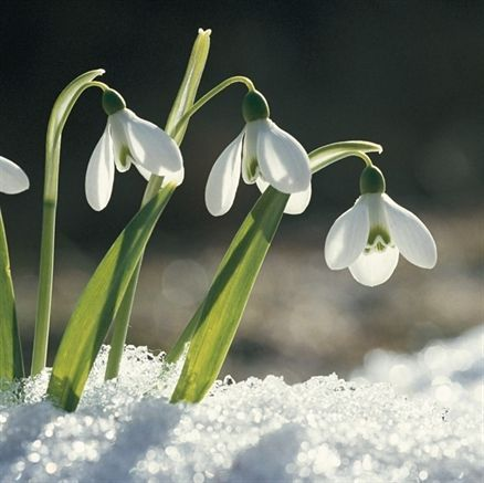 Picture Of Snowdrops British Wild Flowers Snow Plant Winter Plants