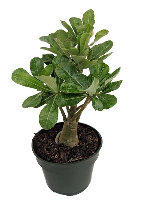 """Photo of Arabic, Desert Rose – Aden Arabic – 6 """"Pot – Easy House Plant"""
