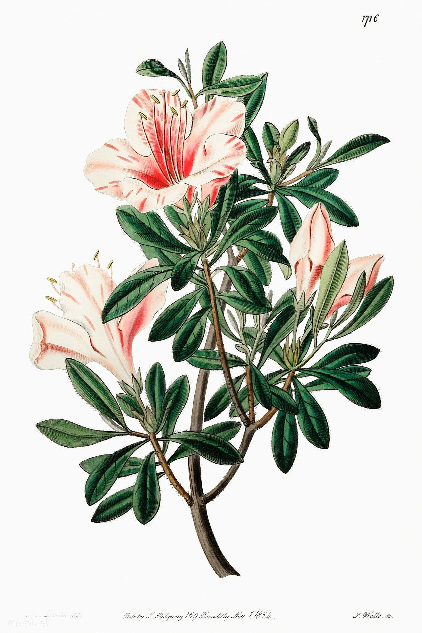 The Variegated Chinese Azalea From Edwards Rsquo S Botanical Register 1829 Mdash 1847 By Sydenham Edwards Azalea Flower Flower Illustration Botanical Flowers