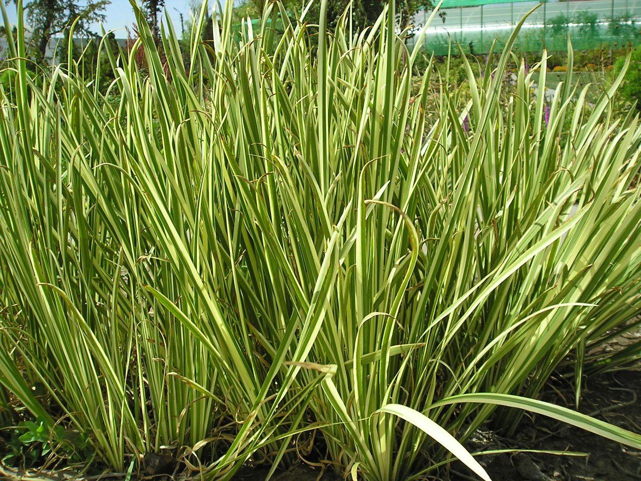 Variegated Sweet Flag Acorus Calamus Variegatus Backyard Inspiration Acorus Herbs