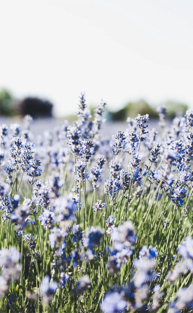 Field of lavender Flower aesthetic, Flowers photography