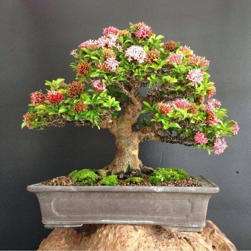 ixora bonsai bonsai shohin bonsai penjing pinterest pflanzen. Black Bedroom Furniture Sets. Home Design Ideas