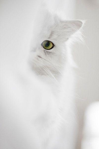 Schneeweiße Katze