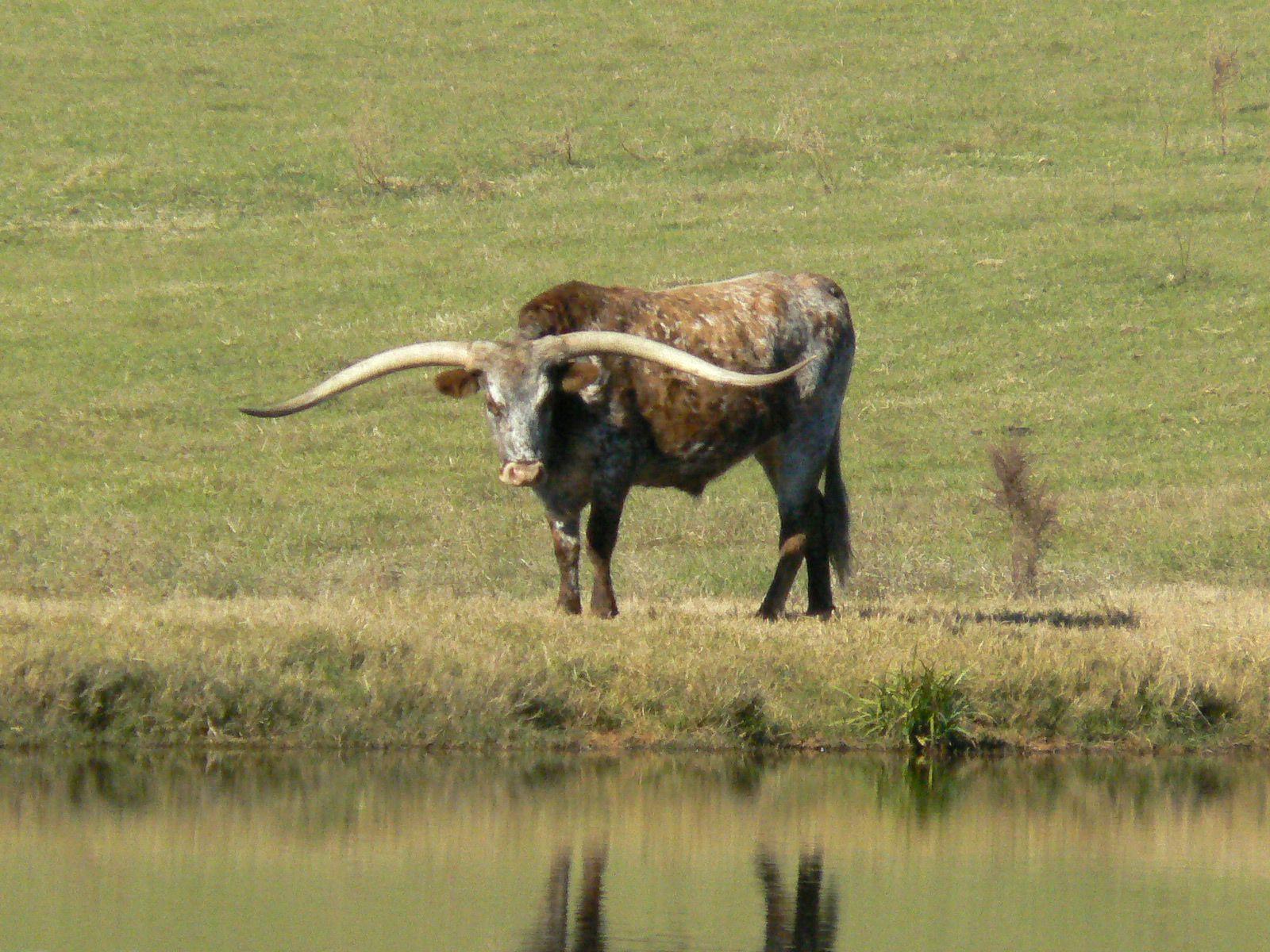 texas longhorn toros pinterest cattle longhorn cattle and