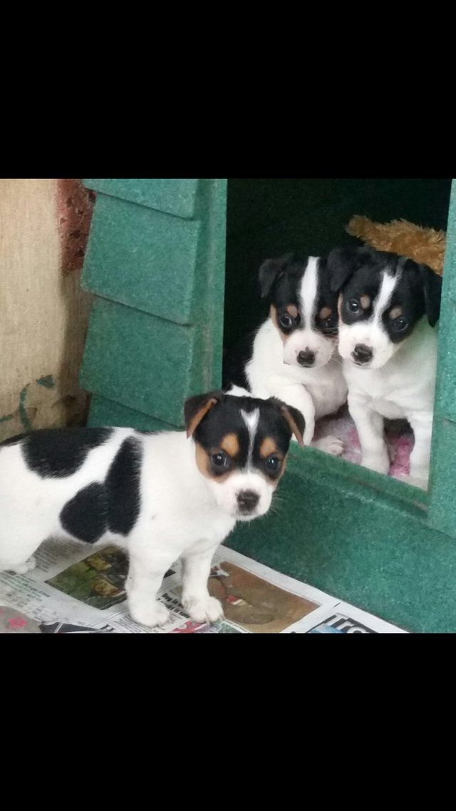 Jack Russell Puppy S For Sale In Buxton Derbyshire Preloved