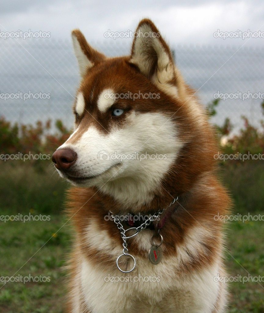 My Siberian Husky Red And White Coat His Name Is Oscar And He Is
