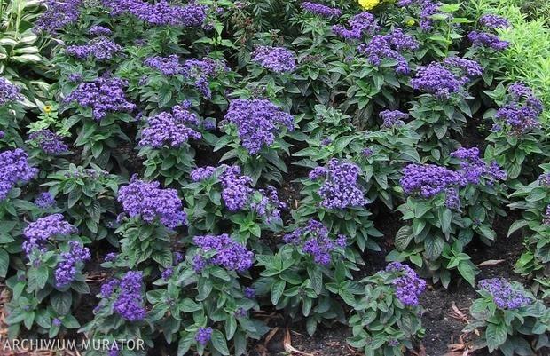 Pachnace Rosliny Do Ogrodu Zapytaj Ogrodnika Plants Garden Herbs