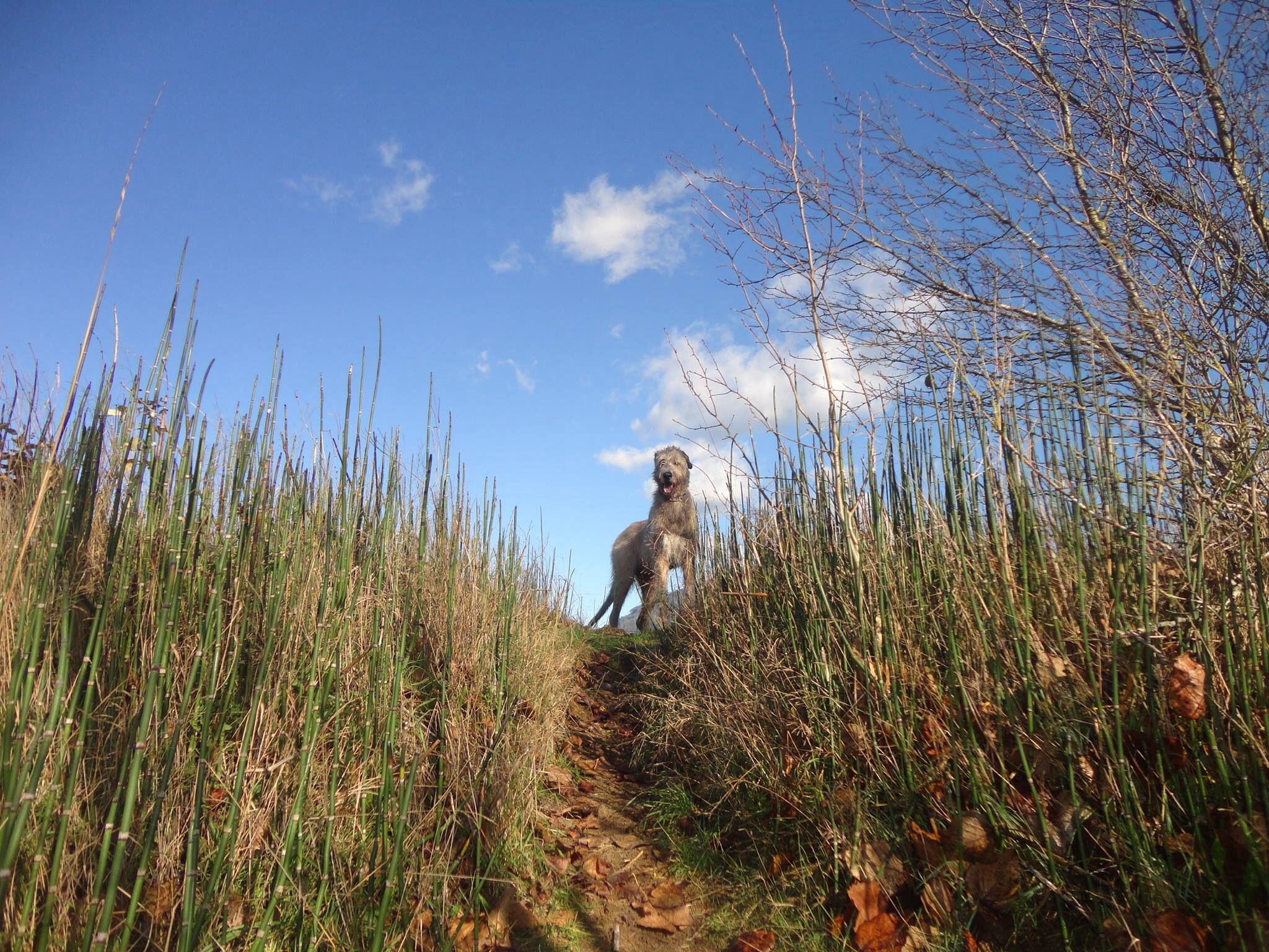 BC Branch of the Irish wolfhound club of Canada   Wolf dog ...