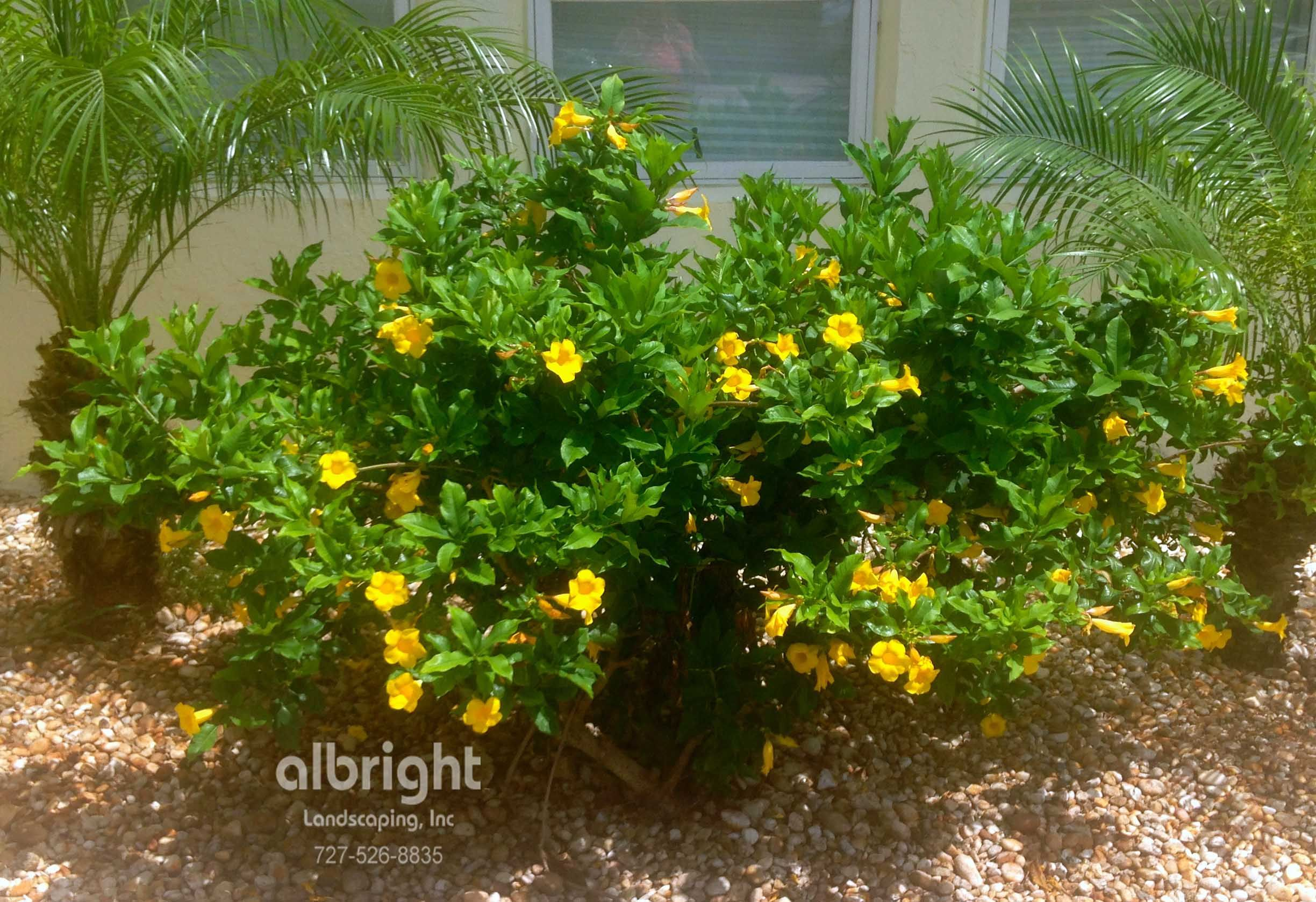 Allamanda Shrub With Roebelenii Palm Trees Rock Garden Plants