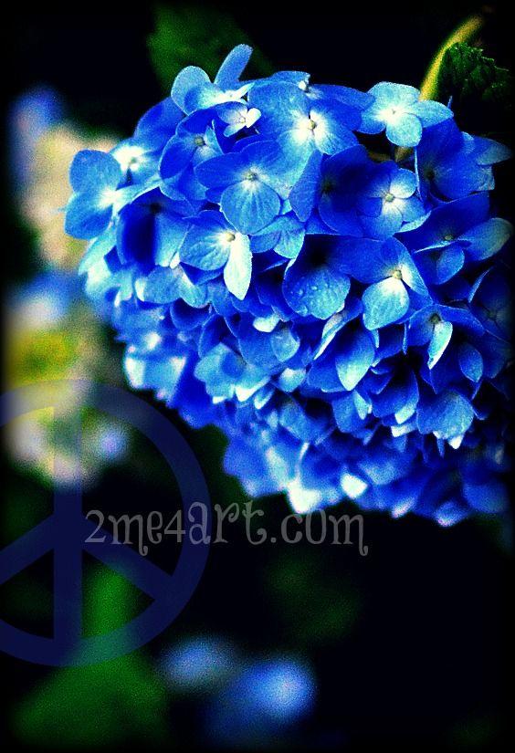 blue-hydrangea1.jpg 564×825 pixels
