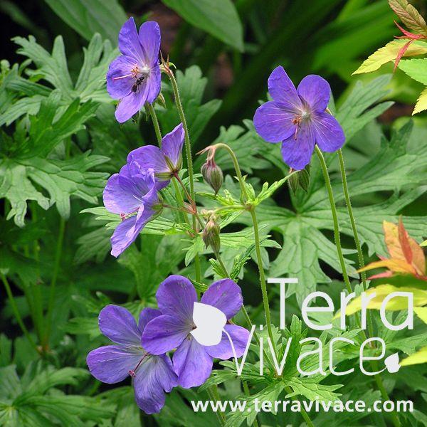 le geranium 39 johnson 39 s blue 39 est une plante vivace rhizomateuse d 39 un excellent couvre sol. Black Bedroom Furniture Sets. Home Design Ideas