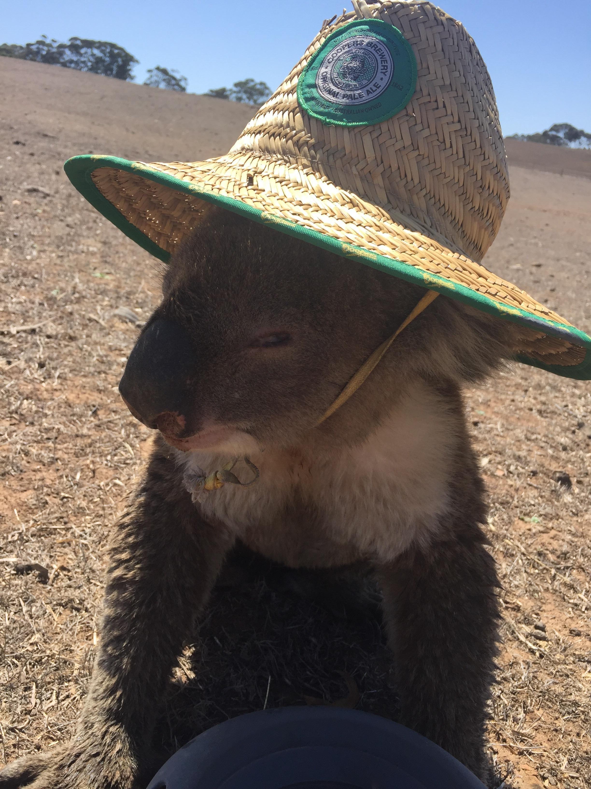 A Koala Wearing A Hat Cat Day Wearing A Hat Hats