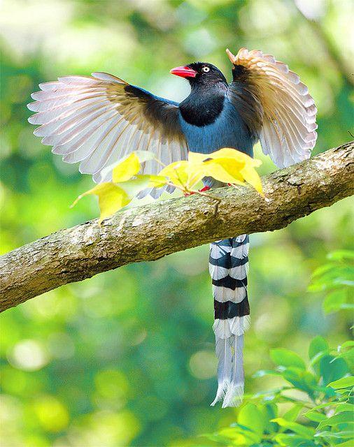 Taiwan Blue Magpie, taken at Yangmingshan, Taipei City, TAIWAN by John, via Flickr