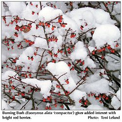 Burning Bush Euonymus Alatus Invasive Although Grown Mostly For Its Red Fall Foliage It Sets Berries And I Yellow Twig Dogwood Euonymus Alatus Twig Dogwood