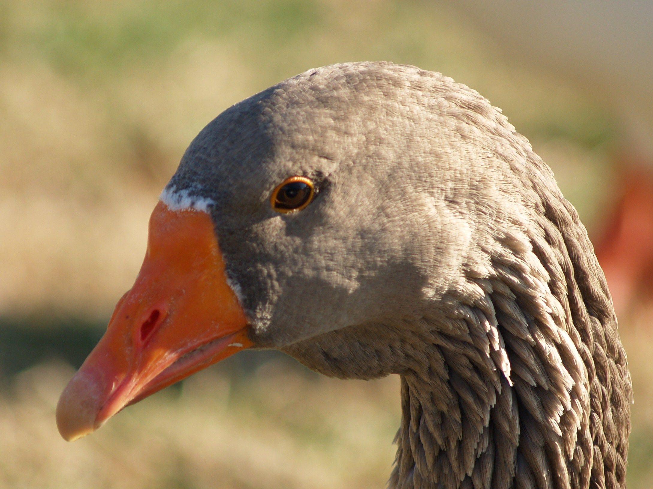 Farm goose Escapee