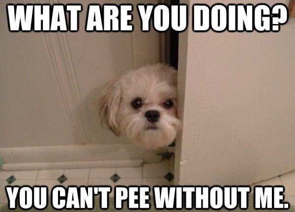 Bahahaha Funny Dog Pictures Funny Animal Pictures Shih Tzu Puppy