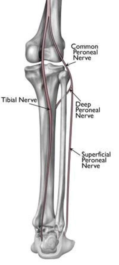 nerves in the lower leg and foot | CMT/Neuropathy | Pinterest ...