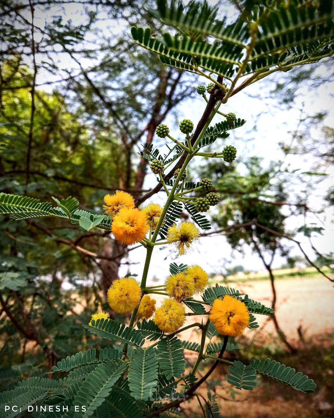 Thalirpics2020 135 கரவலம ப Acacia Nilotica Pc Dinesh Es Teamthalirindia Nature Brilliance Nature In 2020 Flowers Photography Instagram Macro Photography