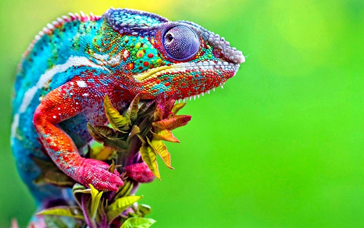 cameleon - Google Search | Your Pinterest Likes | Animal ...
