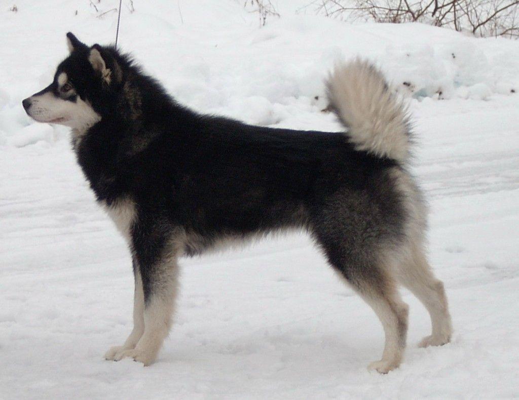 Black Alaskan Malamute Dog Breeds Wallpapersdog Breeds