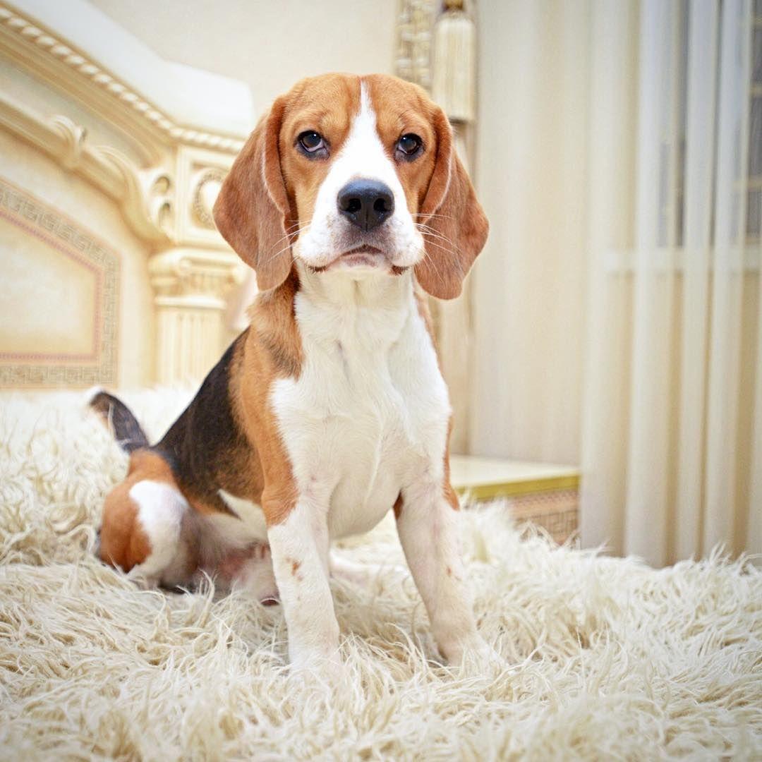 Adorable Beagle Breeds Beagle Beagle Puppy