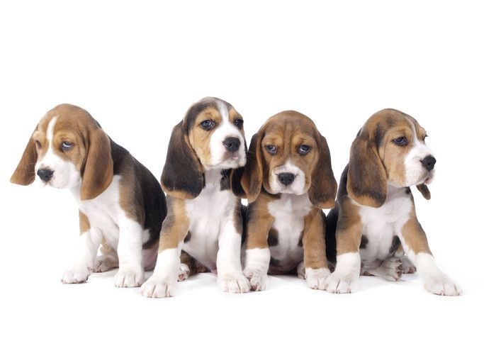 Do Beagles Shed What You Need To Know About Beagles Shedding