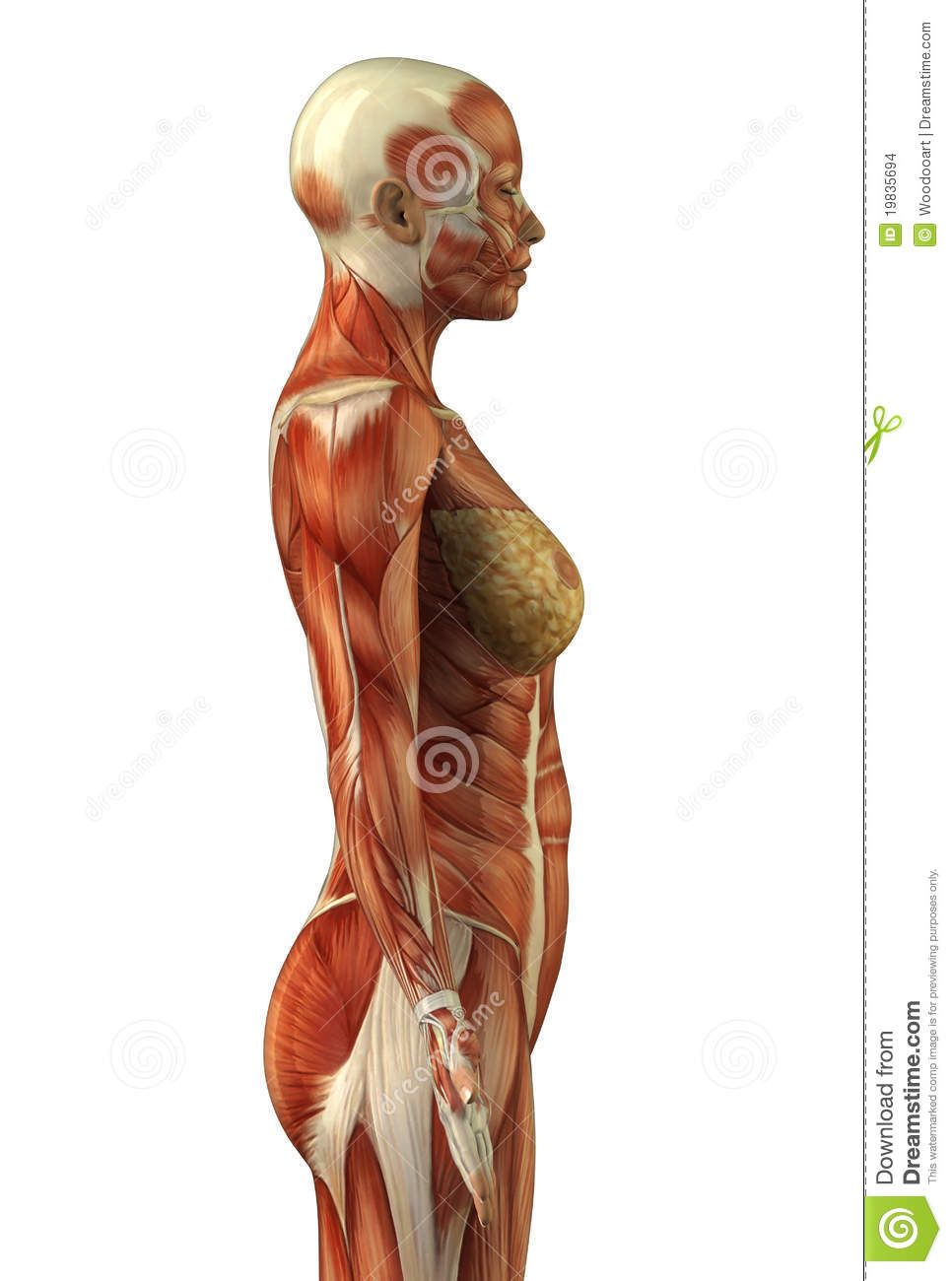 Female Back Muscle Anatomy Torso anatomy female | Human body ...