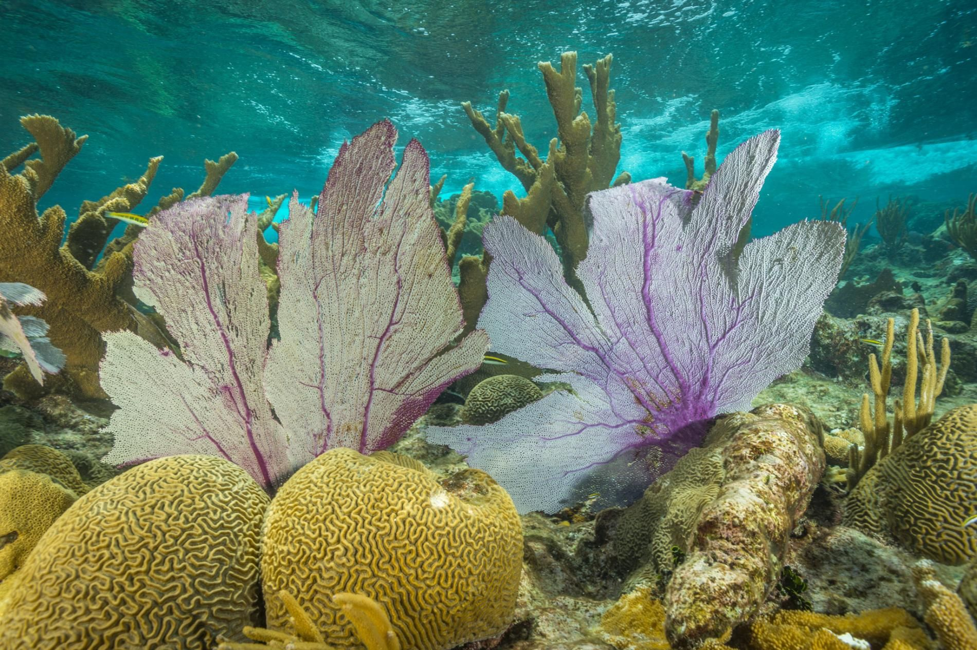 Picture of protected elkhorn corals at Buck island Reef National Monument