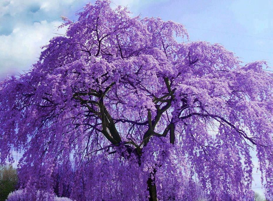 Purple Wisteria Tree Flowers Via Colorfull At Www Facebook Com