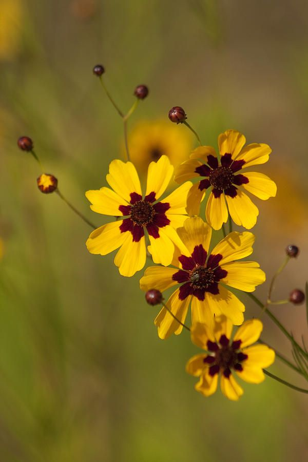 alabama coreopsis tinctoria wildflowers by kathy clark