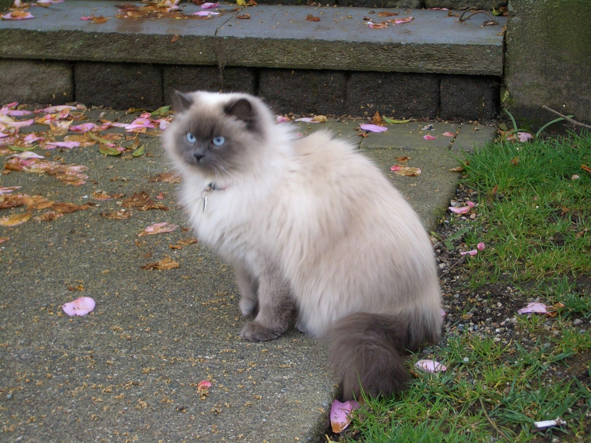 Persian And Himalayan Siamese Mix Cat I Love Kittens More Pics Like This On The Website Click The Link Catsfl Himalayan Cat Siamese Cats For Sale Cat Breeds