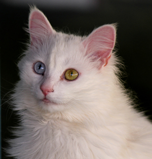 Cats with 2 different colored eyes have a condition called