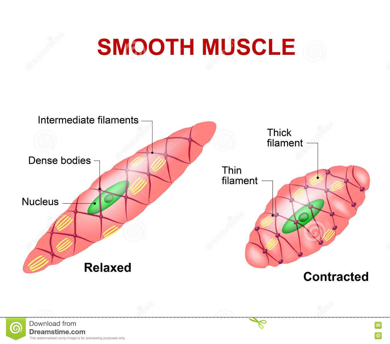 human muscle cell diagram ecu wiring subaru anatomy study pinterest smooth tissue stock vector illustration of