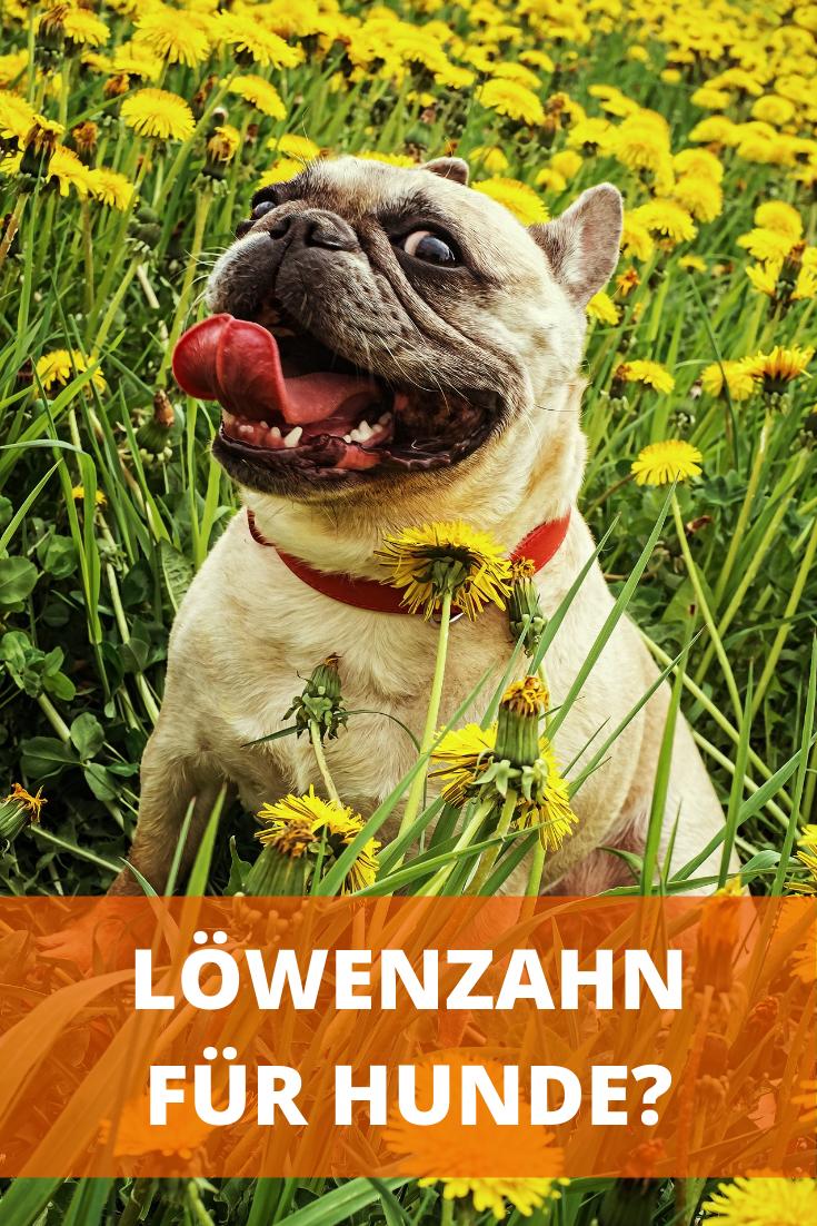 Lowenzahn Fur Hunde Dogco De Franzosische Bulldogge Lustige Bulldogge Hunde