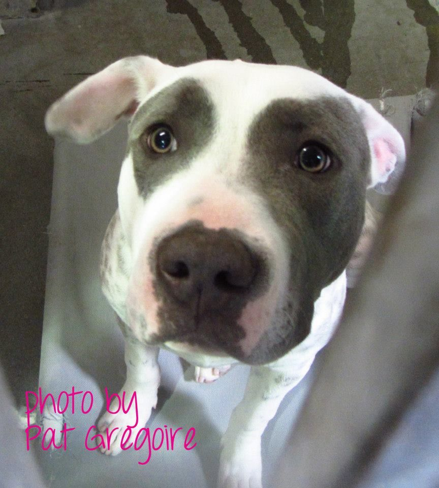 SUPER URGENT - A4691822  My name is Chino. I am a very friendly 11 month old male white/gray pit bull mix. My owner left me here on April 1. available now. NOTE: Pit breeds are only getting 4-5 days before they're killed so those are always urgent!! Baldwin Park shelter, 4275 Elton Street, Baldwin Park, California 91706 Phone 626 430 2378  https://www.facebook.com/photo.php?fbid=759364197408753&set=a.705235432821630&type=3&theater