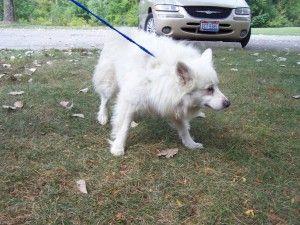 Adopt Tripp On American Eskimo Dog American Eskimo Dogs