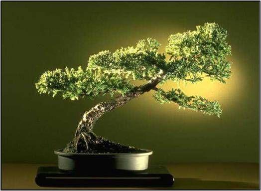 Pin Pa Beautiful Bonsai Trees