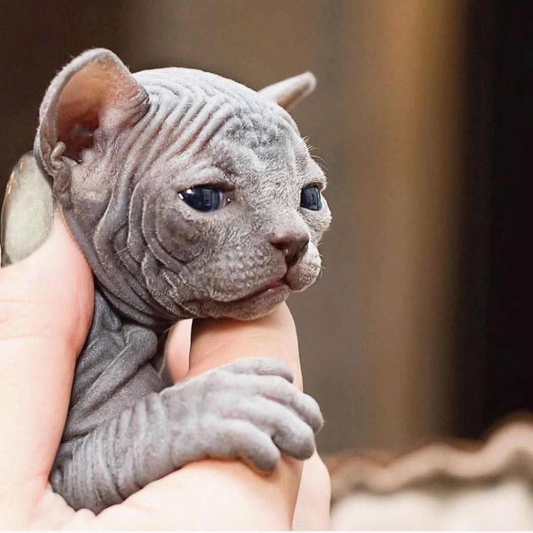 1 497 Likes 6 Comments Sphynx Sphynxcatworld On Instagram Credit To Sphynxunlimited If You Want To Shop Fa Bambino Cat Hairless Cat Sphynx Sphynx Cat