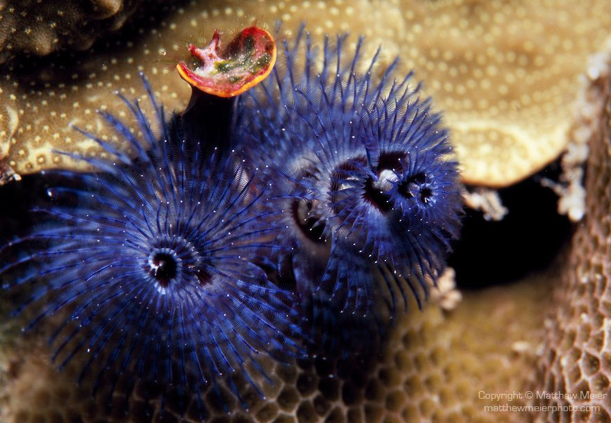 Moorea French Polynesia Spiral Gilled Tube Worm Spirobranchus Giganteus Commonly Called Christmas Tree Worms Foun Patterns In Nature Pretty Fish Fish Pet