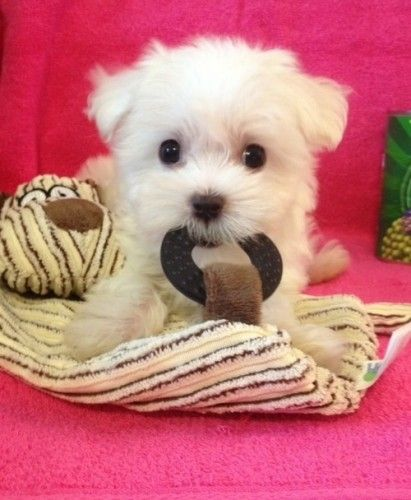 Charming Teacup Maltese Puppies Adorable Puppies Really Cute