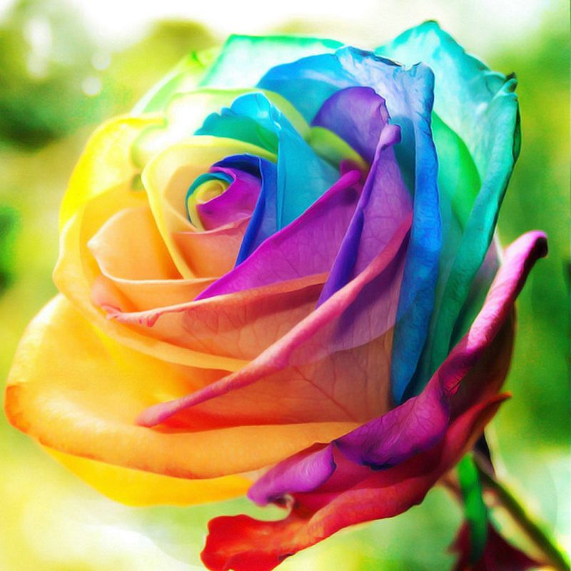 multicolor rose holland rose seeds garden flower plant