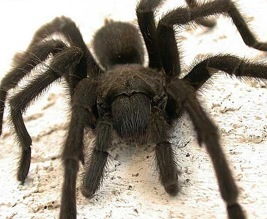 de1c045bc3cd1b8480bab44b22a20245 - How To Get Rid Of Tarantulas In My House