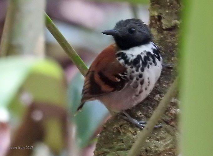 ズグロホシアリドリ  Spotted antbird (Hylophylax naevioides)