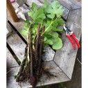 Vijgenboom stekken - Leer hoe je een stek maakt van de vijg - Vijg.nl