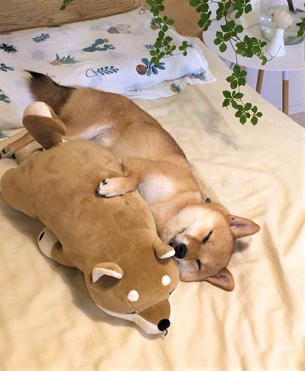 画像4 36 癒やし効果抜群 10万人超のファンを魅了する 豆柴 はなちゃんの 寝姿コレクション ウォーカープラス 柴犬 可愛い 可愛い犬 かわいいペット