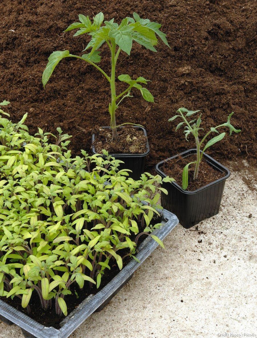 Les Bons Gestes Du Jardinier En Mars Semis Tomates Jardin En